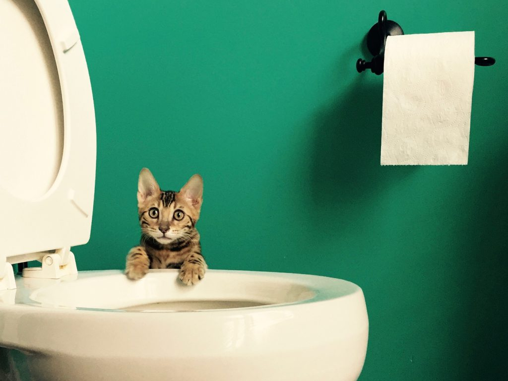 cat standing by toilet